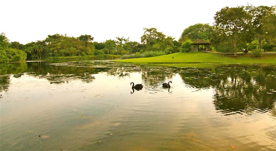 Visiting the Singapore Botanic Gardens - Swan Lake