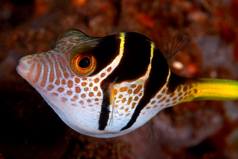 A puffer fish, just one of the many fish species we see diving Komodo.