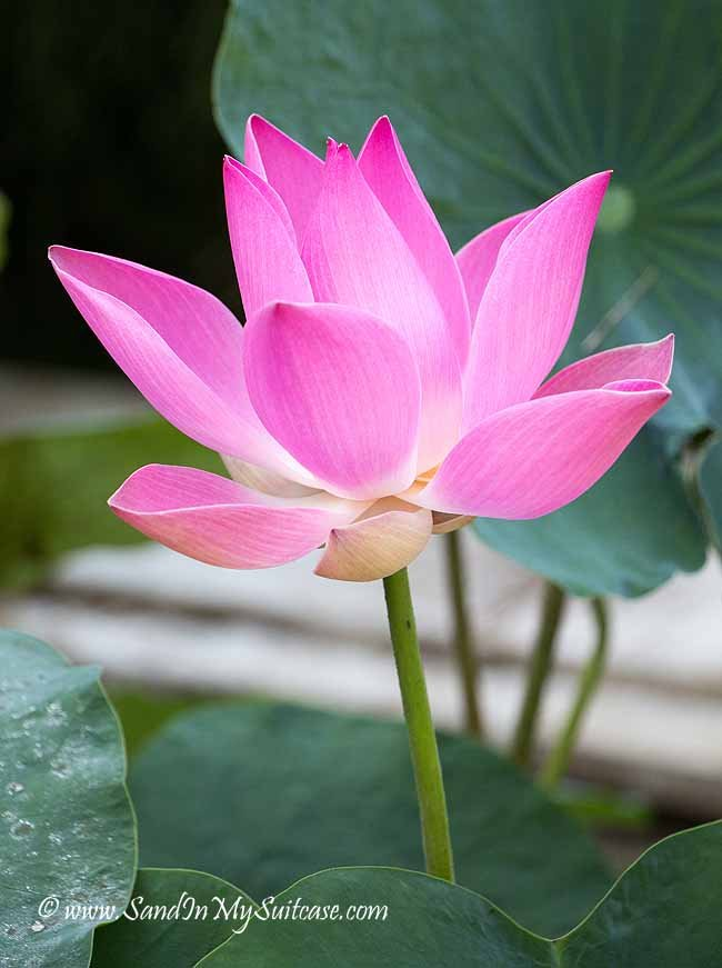 The lotus flower - which symbolizes beauty, love and faith - is the holiest flower in Bali