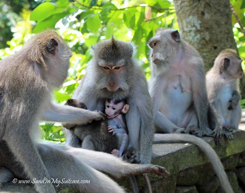 top things to do in bali - visit the monkey forest sanctuary