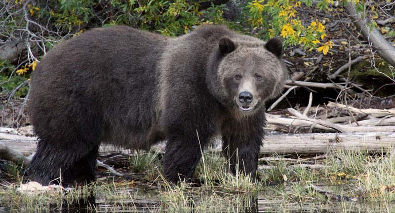chilko experience - grizzly bear viewing