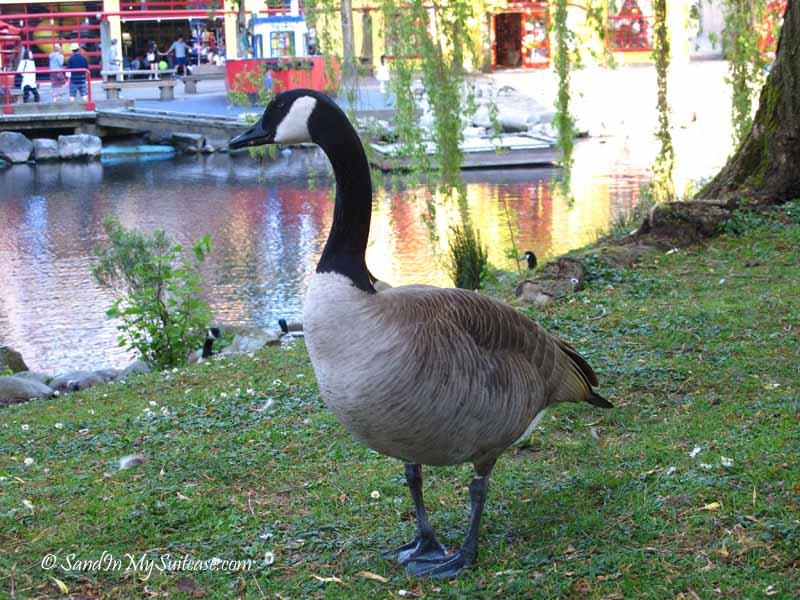 biking stanley park - canada goose
