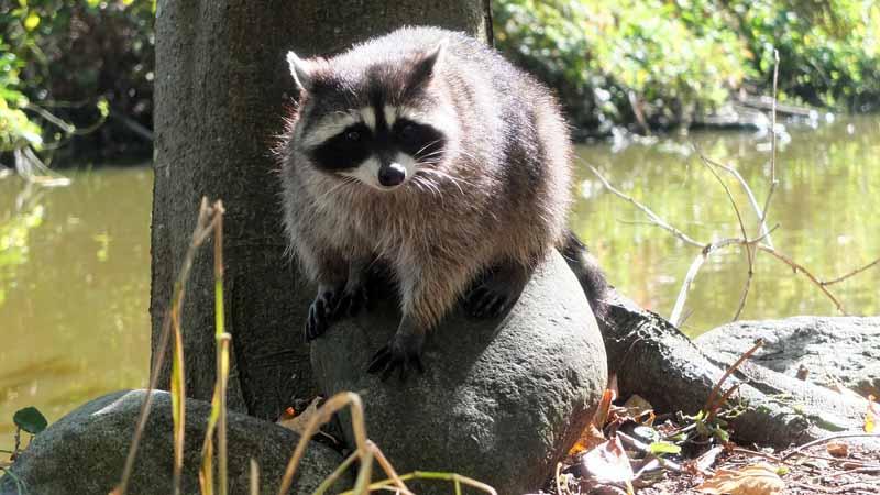 biking stanley park - raccoon