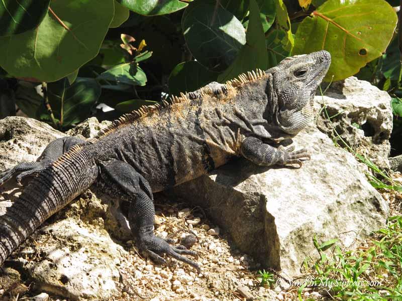 iguana - riviera maya