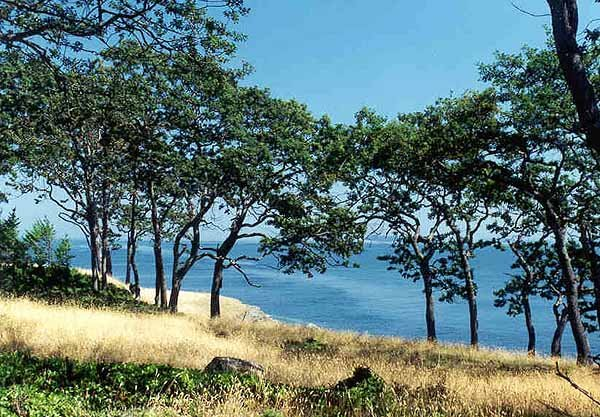 A grove of Garry Oaks by the sea - photo Brian Reader for the Garry Oak Ecosystems Recovery Team (GOERT) Society