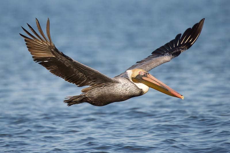 birds of costa rica - brown pelican