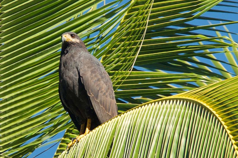 Mangrove black hawk in the trees