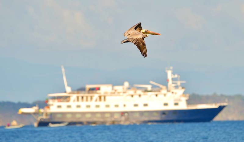 Pelican flying above ship