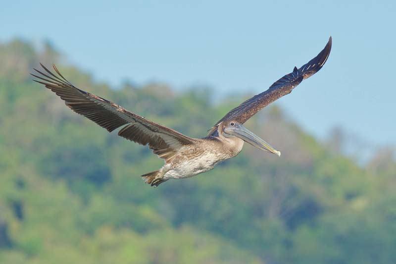 Birds of Costa Rica - brown pelican