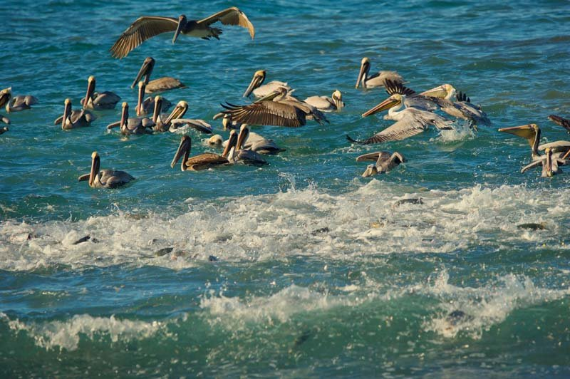 Birds in Costa Rica: brown pelicans