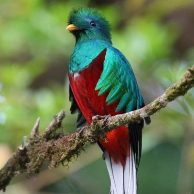 birds of costa rica - quetzal
