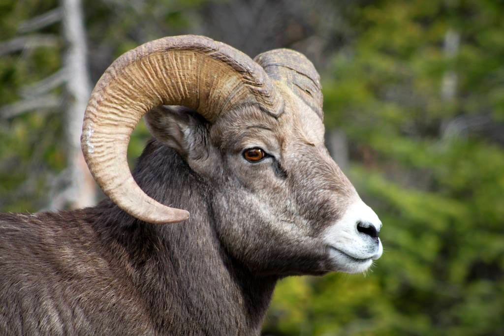 Bighorn sheep in Banff National Park