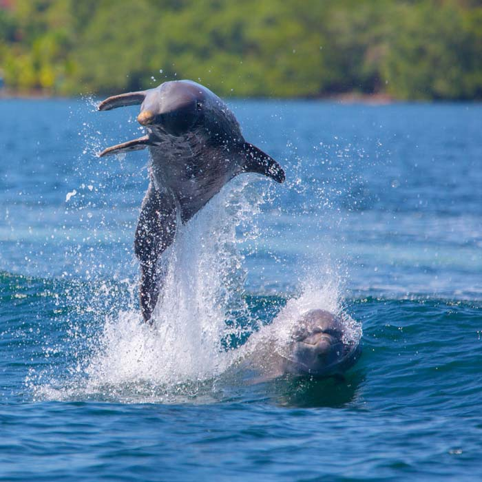 Spot dolphins! Just one of the things to do in Bocas del Toro