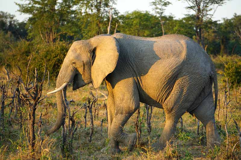 South Luangwa supports large herds of elephants.