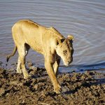 Beware the lions! Our walking safari in Zambia with Norman Carr Safaris