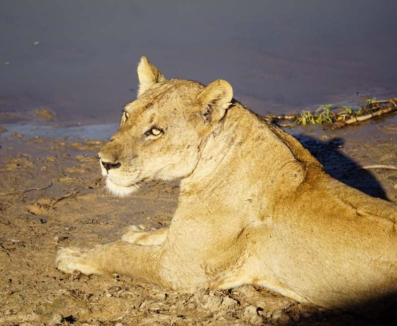 Chinzombo lion