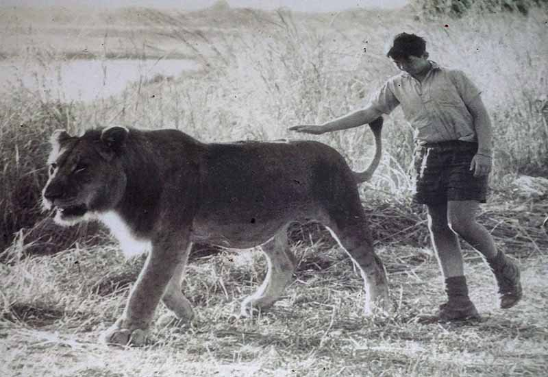 Norman Carr's son would play with the two orphaned lion cubs his father raised, and later successfully returned to the wild.