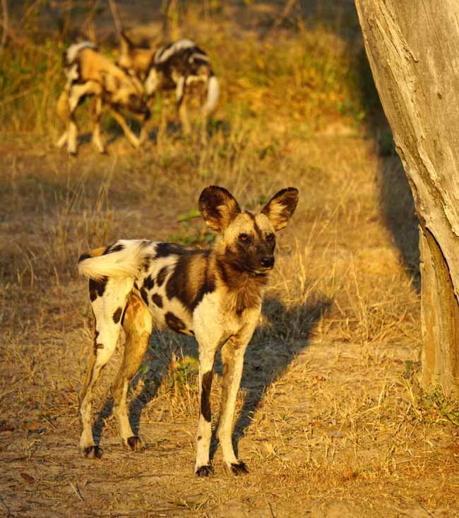 African wild dogs, also known as painted dogs, are an endangered species, unique to Africa.
