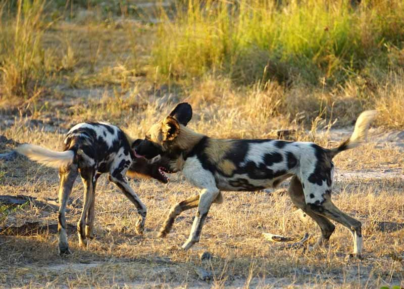 African wild dogs are rare to spot on safari, so we're tremendously excited when we spot a pack on a late afternoon game drive in South Luangwa National Park.