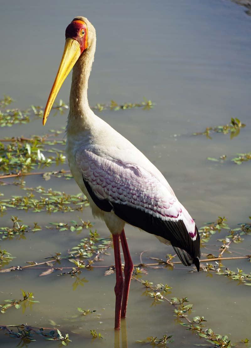 Chinzombo - yellow-billed stork