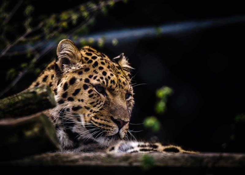 Chinzombo leopard