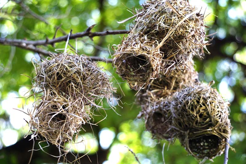 village weaver bird nest