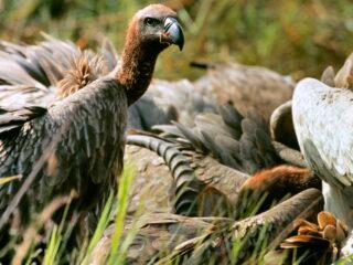 Vulture Feeding Victoria Falls