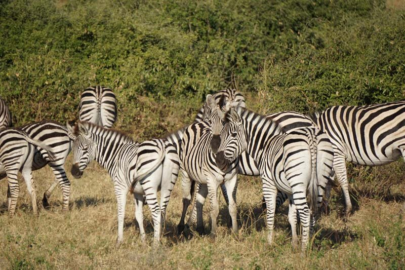 Chobe National Park animals - dazzle of zebras