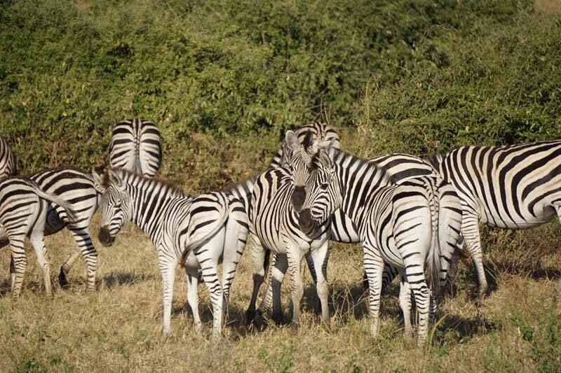 zebras in Chobe National Park