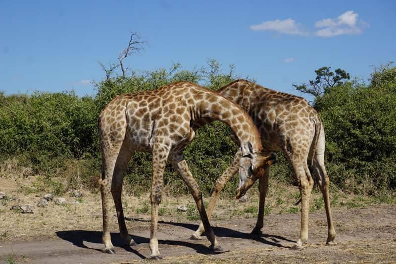 giraffes playfighting