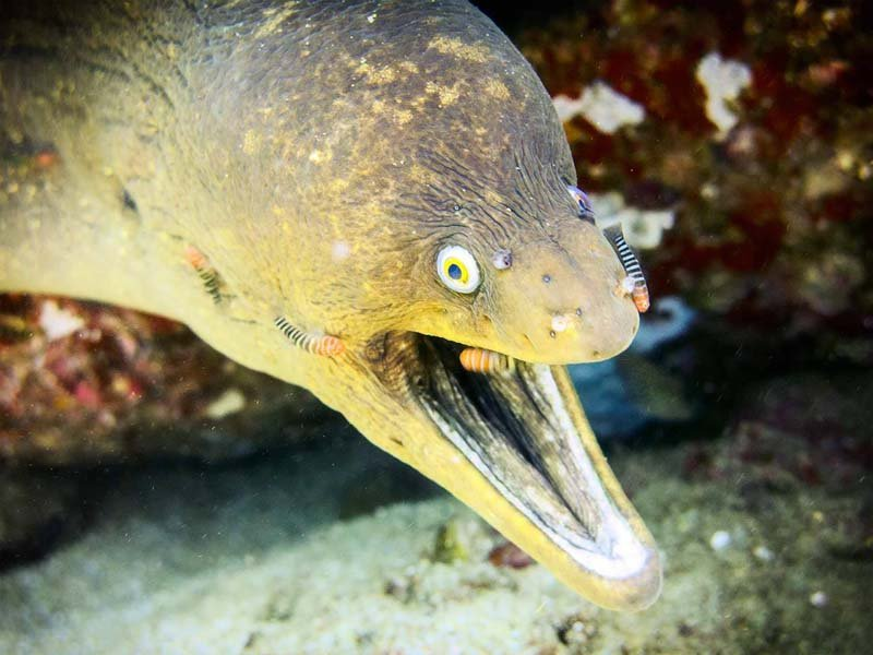 diving Sea of Cortez moray eel