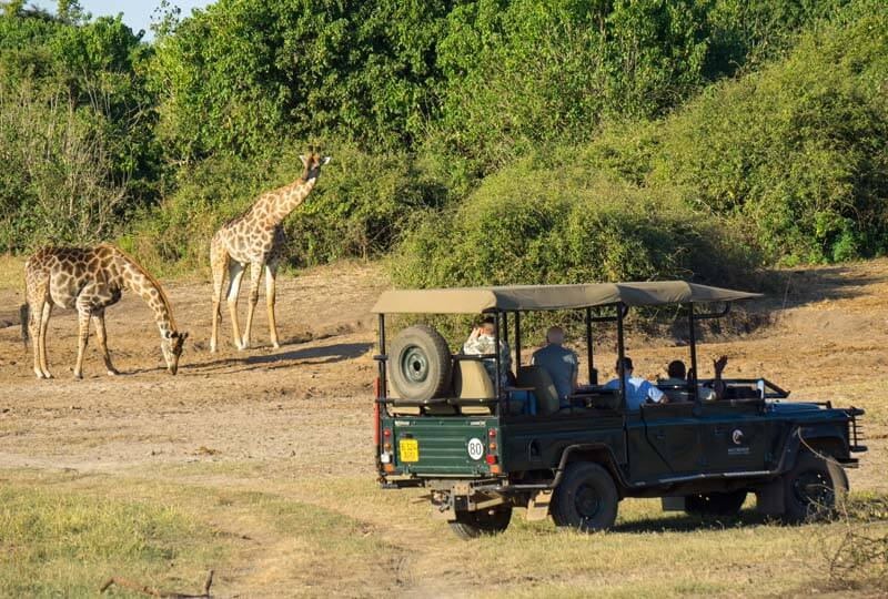 giraffes in chobe game reserve