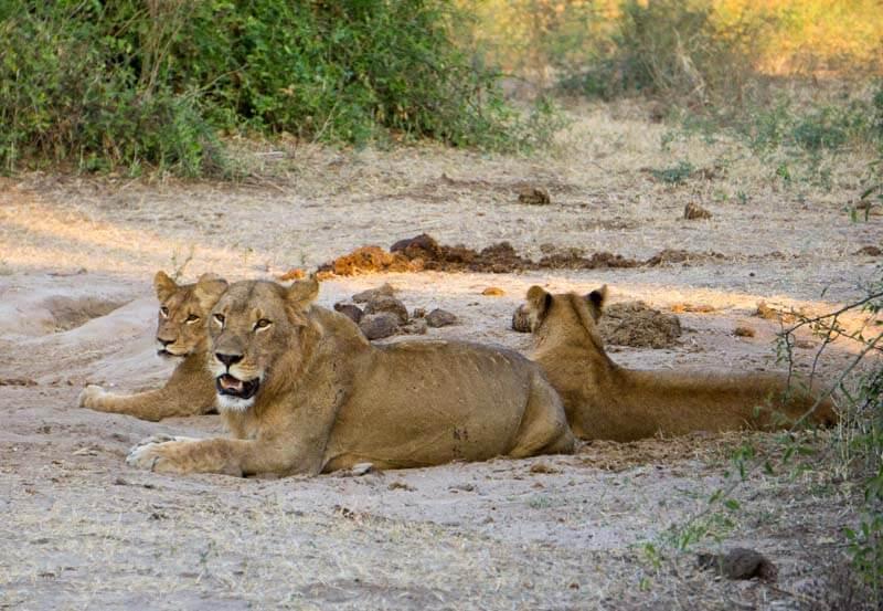 Chobe wildlife - lions