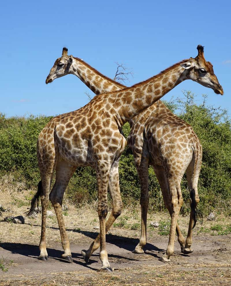 giraffes in Chobe National Park