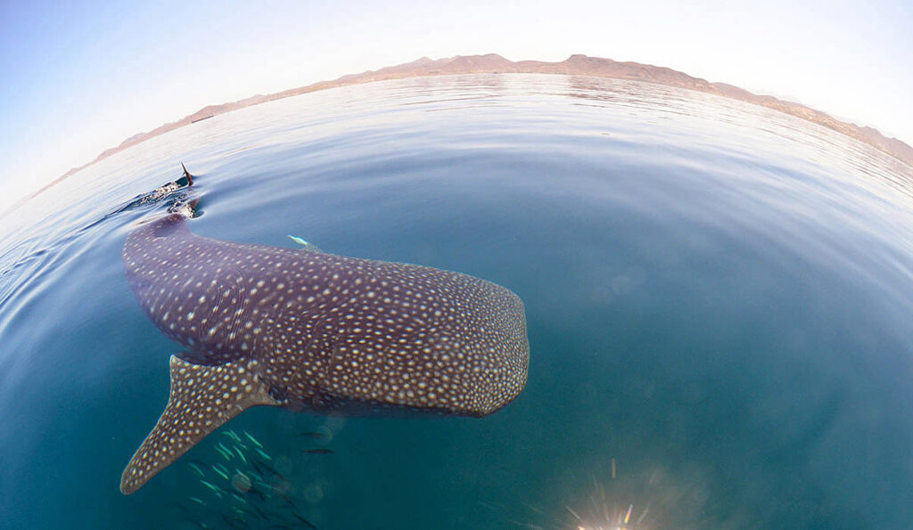 Swim with whale sharks in La Paz!
