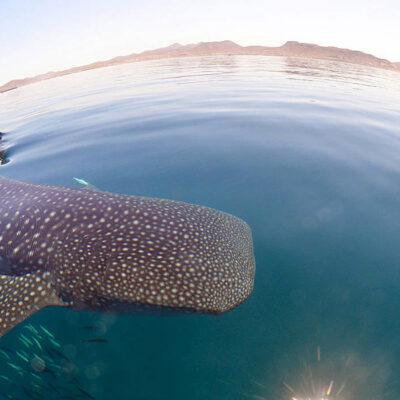 Swim with whale sharks in La Paz!