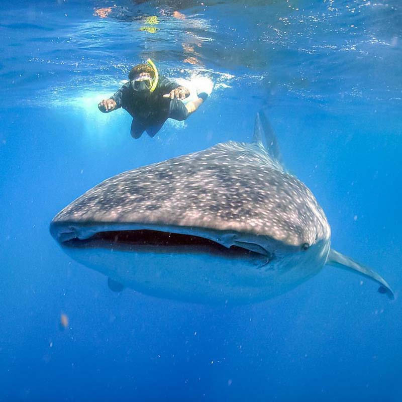 Whale sharks in Cabo are the largest fish in the world - and very gentle