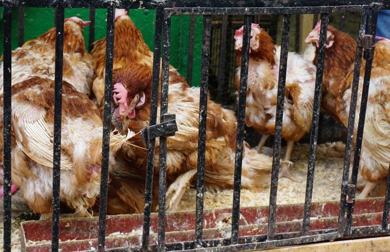 Tetouan Medina chickens