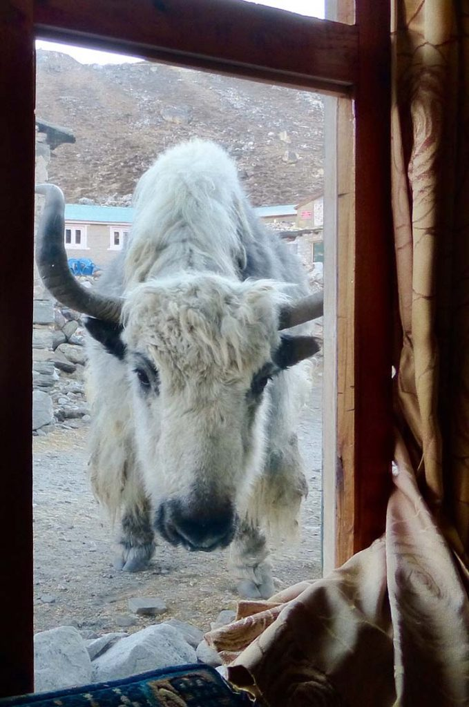 A yak we meet while trekking Nepal...