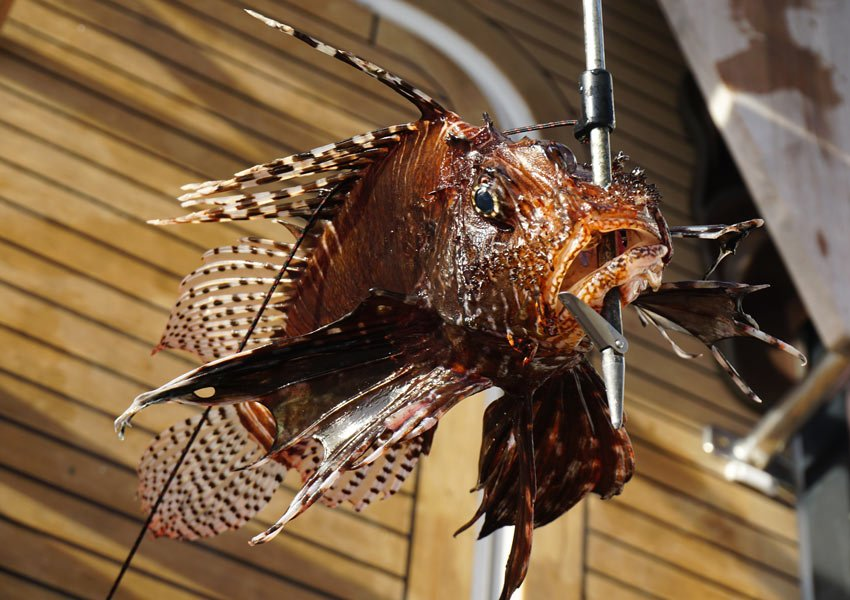 Hunting lionfish in the Caribbean. Here's one our dive guide speared.