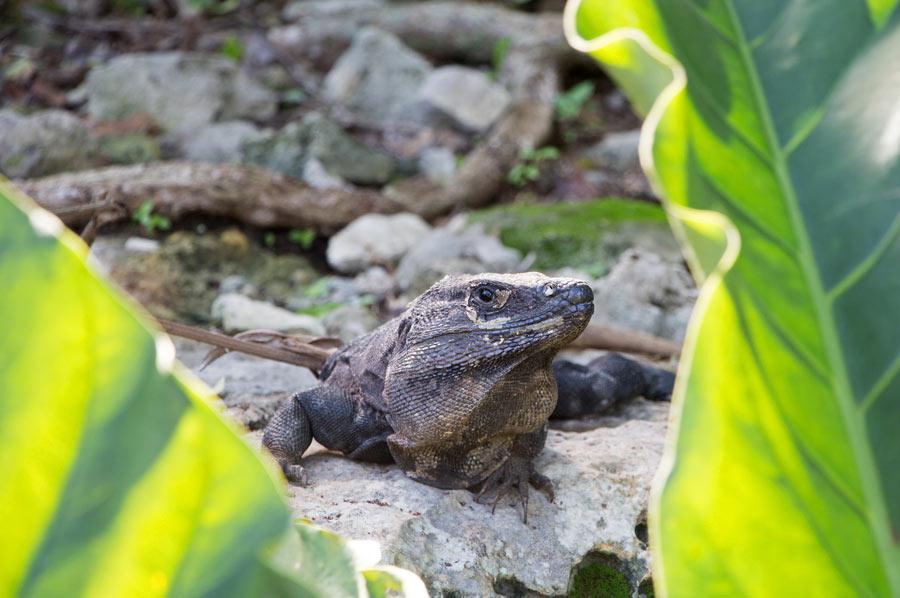 Iguana at Tulum ruins