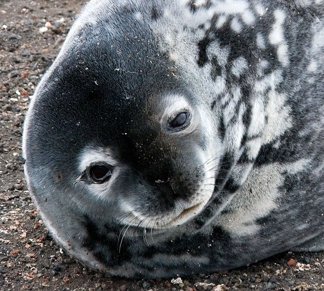 Weddell seal on an Antarctica expedition cruise