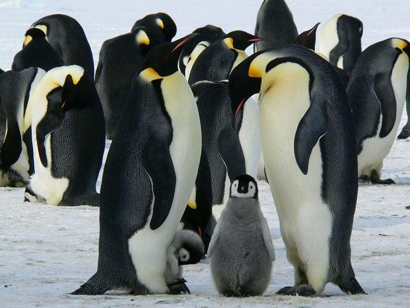 Emperor penguins huddle together