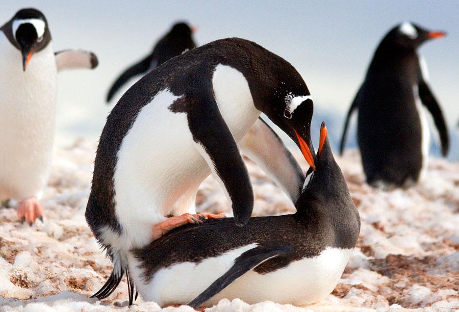 Gentoo penguins mating