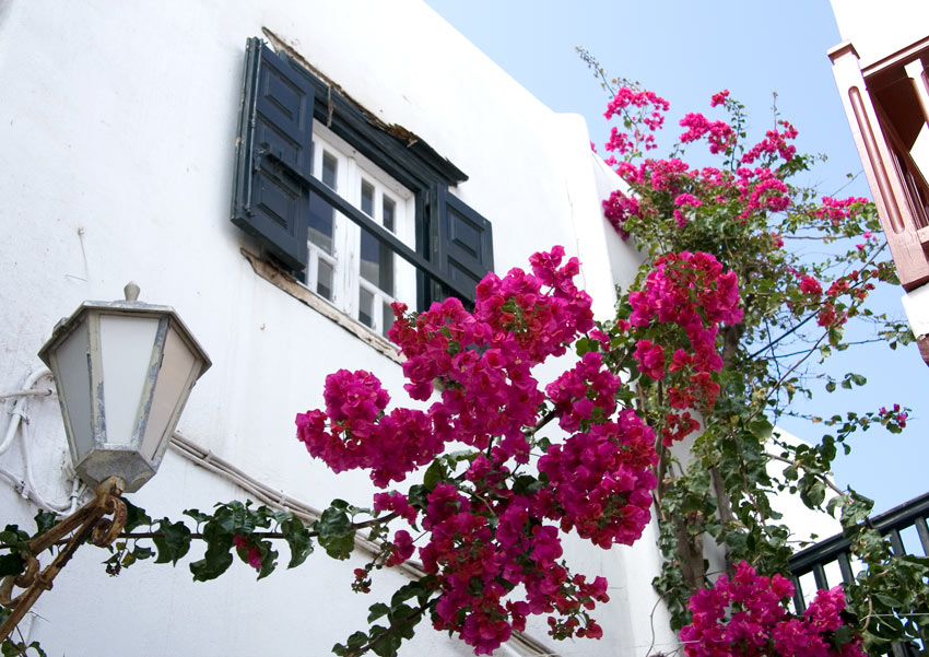 Pink and purple bougainvillea vines adorn shuttered buildings in Mykonos town
