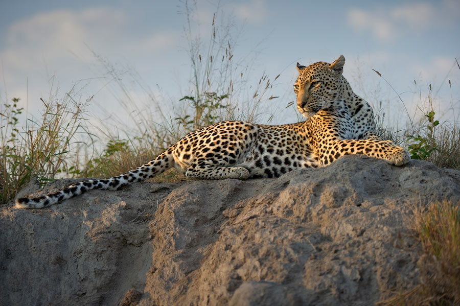 Leopards are commonly seen at Simbambili Game Lodge, which is one of the best game lodges in South Africa