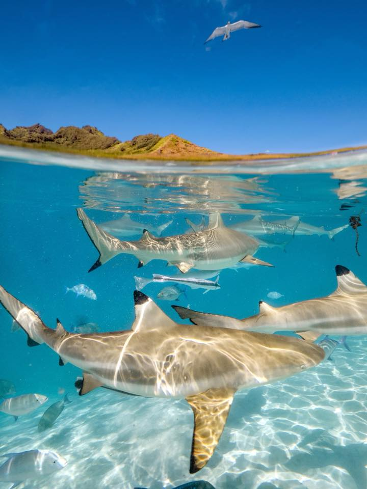 Bora Bora cruise: Swimming with sharks