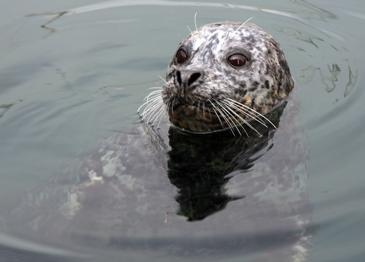 Harbor seals love Victoria, BC, too. Keep an eye out for them as you walk the Victoria Inner Harbour.
