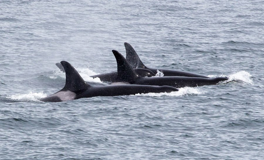 Orcas are commonly sighted on Victoria whale watching tours.