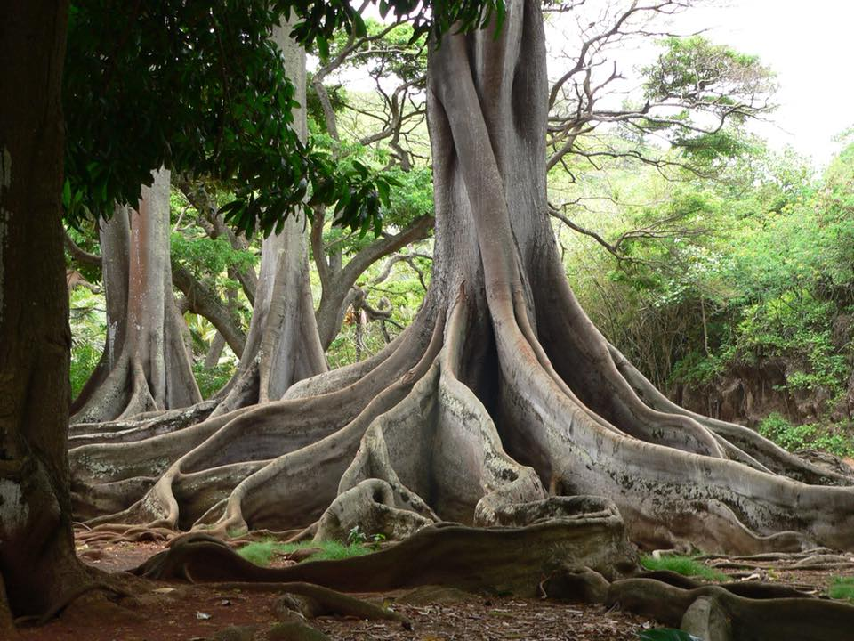 These Moreton Bay fig tree roots played a part in the original Jurassic Park movie
